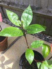 月桂叶 bay leaf